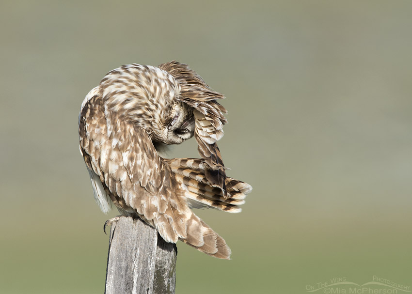 Short-eared Owl contorted preening pose