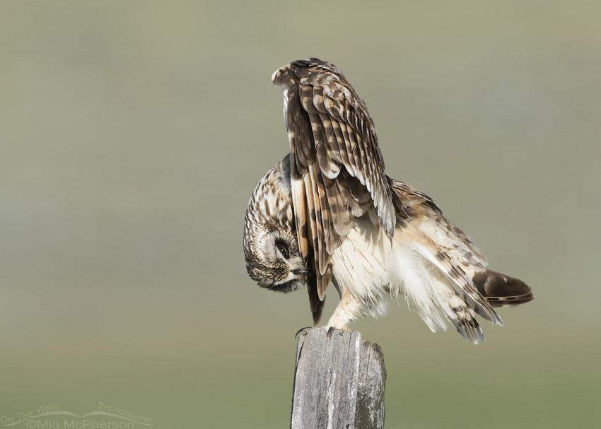 Short-eared Owl preening its wingtip