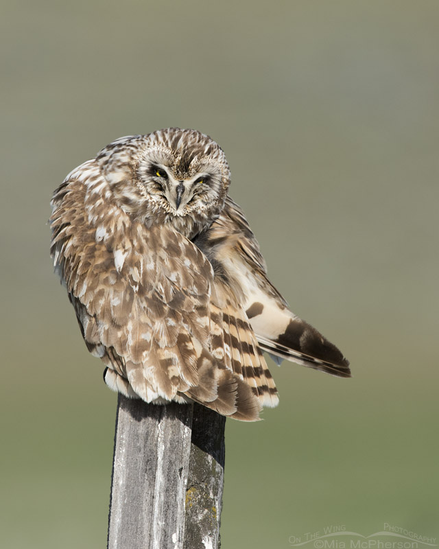 Short-eared Owl squinting while preening