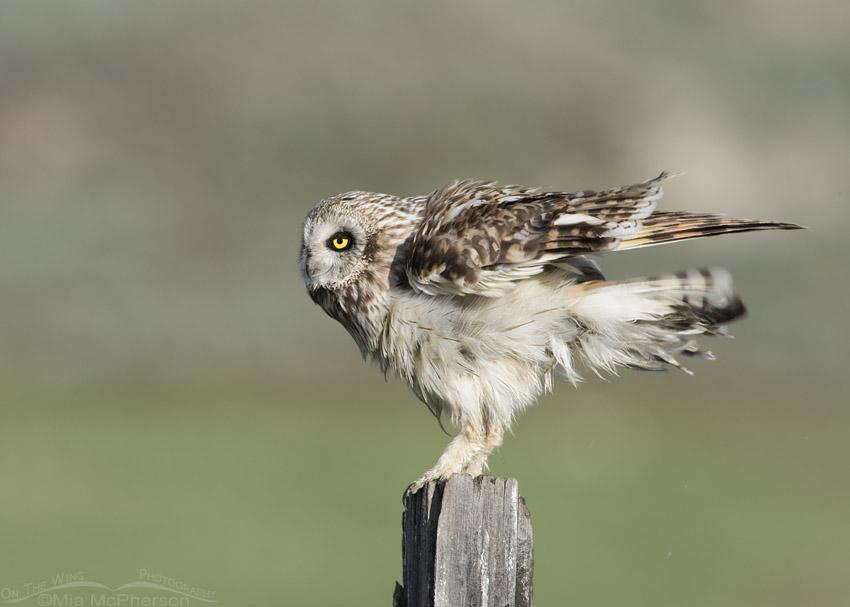 Rousing male Short-eared Owl