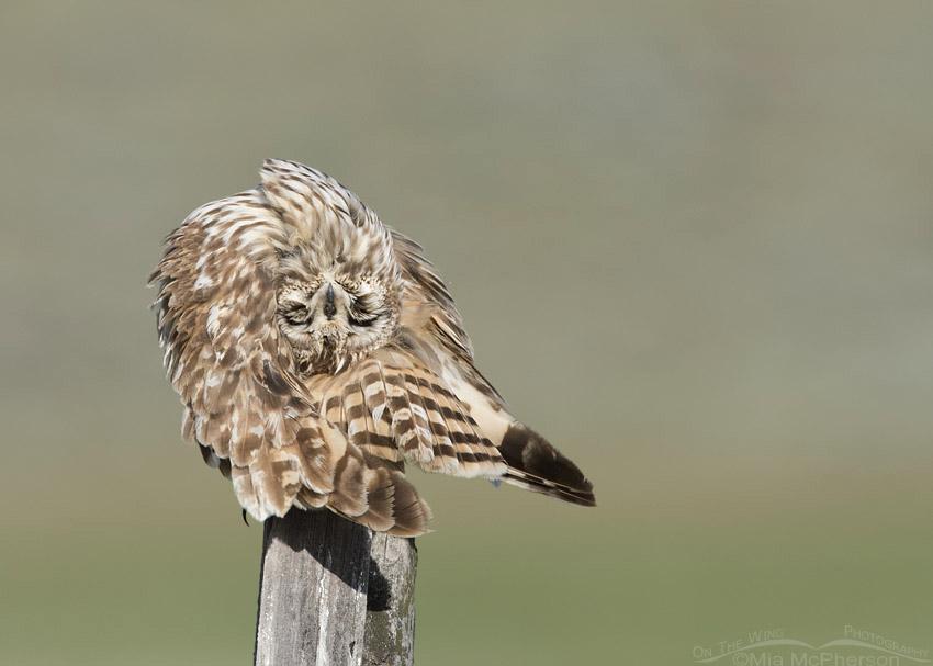 Short-eared Owl rubbing its uropygial gland