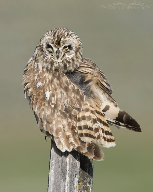 Exposed uropygial gland on Short-eared Owl