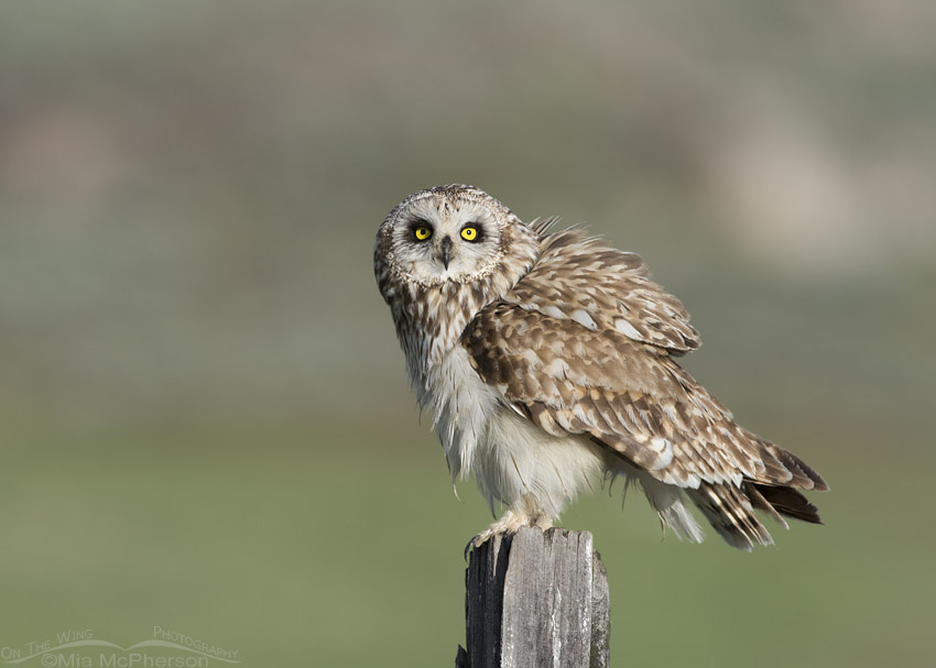 Male Short-eared Owl staring
