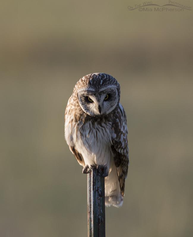 Side lit Short-eared Owl