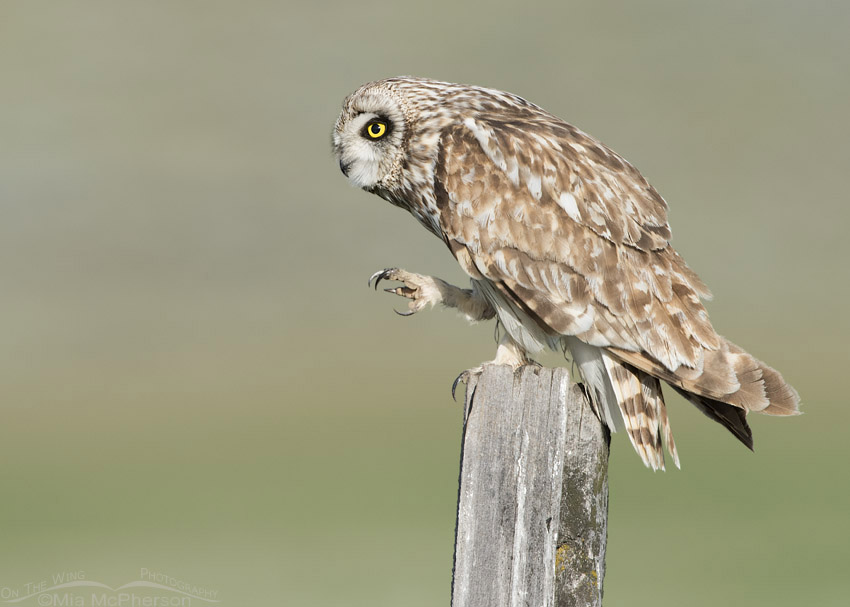 Short-eared Owl's talons