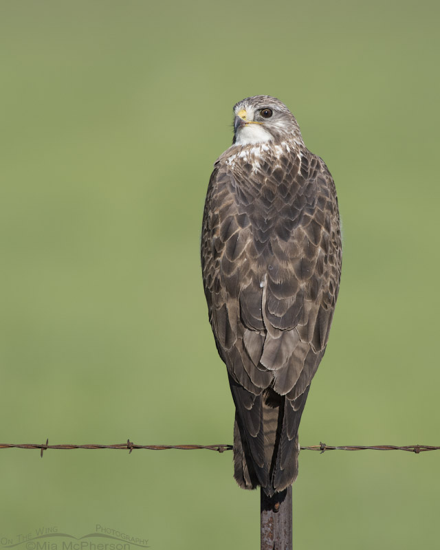 Swainson's Hawk and a field of green
