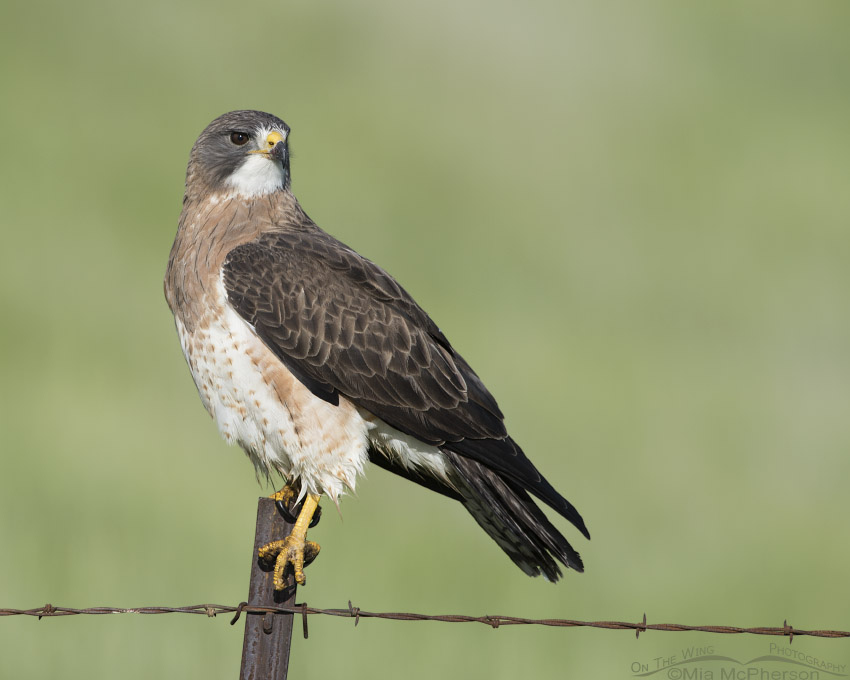 Regal Swainson's Hawk