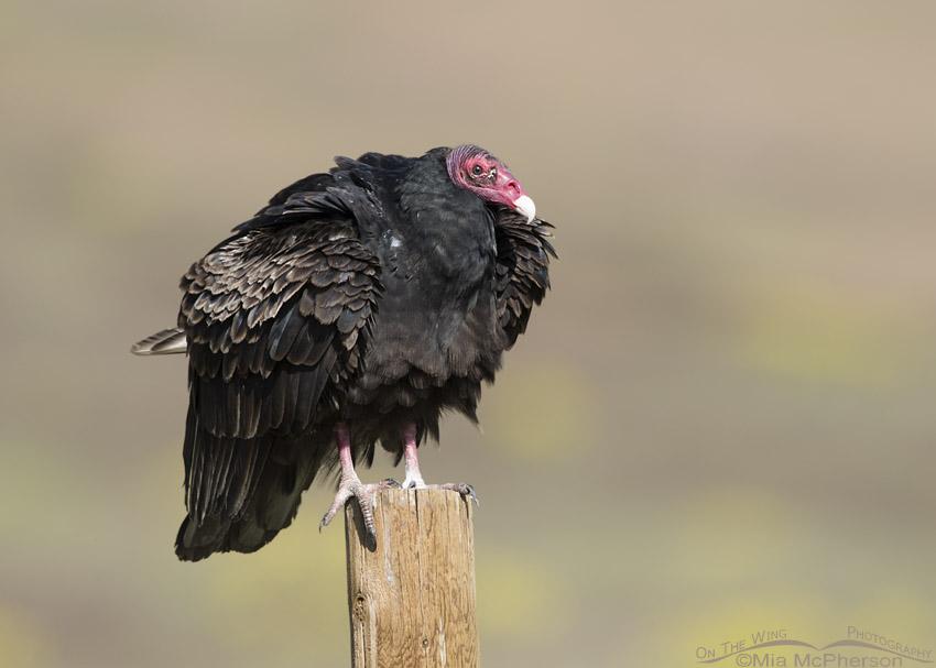 Fluffy Turkey Vulture