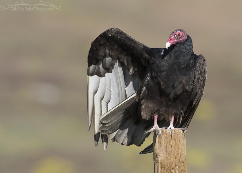 Turkey Vulture wing stretch