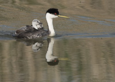 Western Grebe back-brooding two chicks