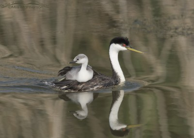 Western Grebe back-brooding large chick