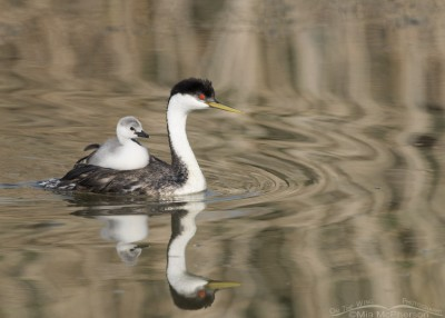 Western Grebe back-brooding its young