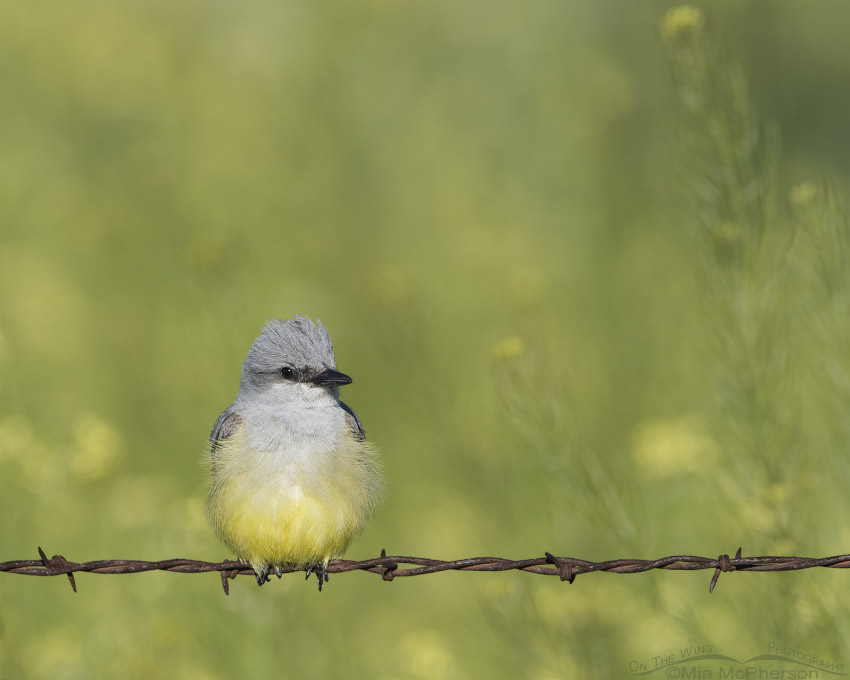Western Kingbird with Black Mustard in the background