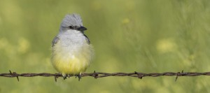 Western Kingbird with Black Mustard