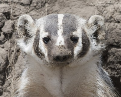 Portrait of American Badger Head On