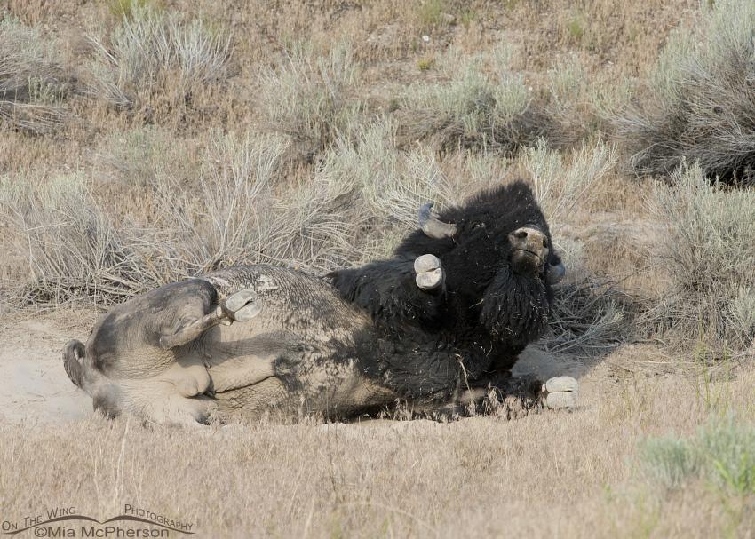 Beginning of a Bison dust bath