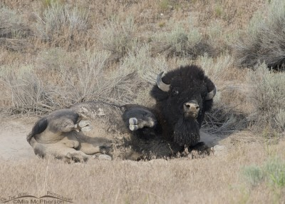 Bison in a dusty wallow
