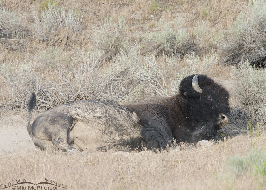 American Bison rolling in the dust