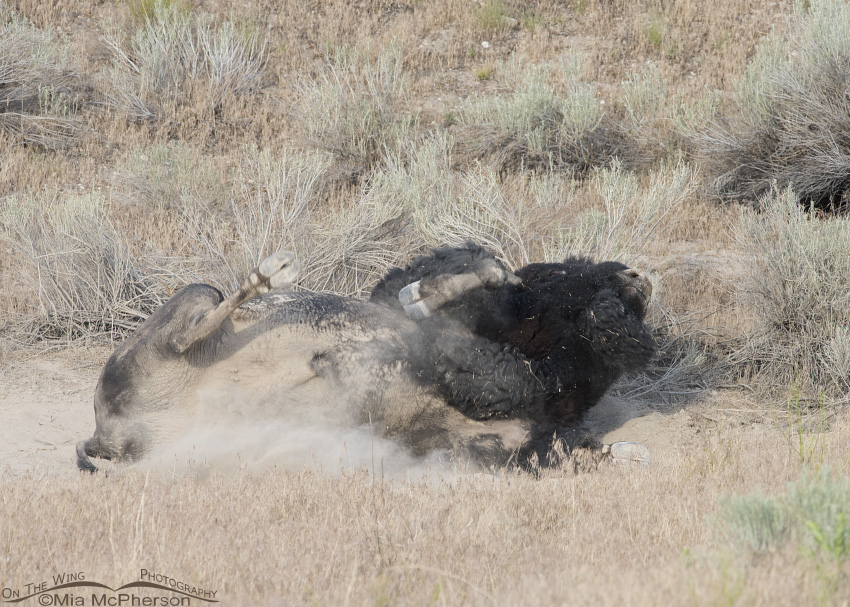Bison bull on his back in the wallow
