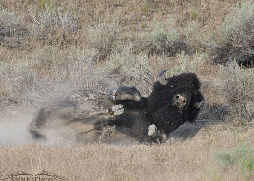 Dusty Bison bull