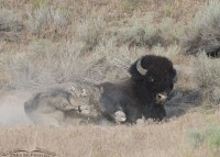 Bison and a cloud of dust