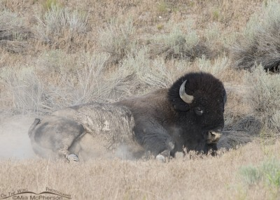 Dust bathing Bison