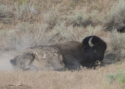Bison bull enjoying a dust bath