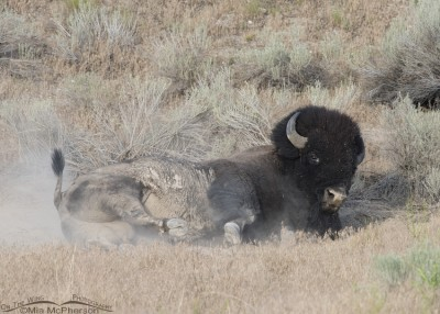American Bison and dust