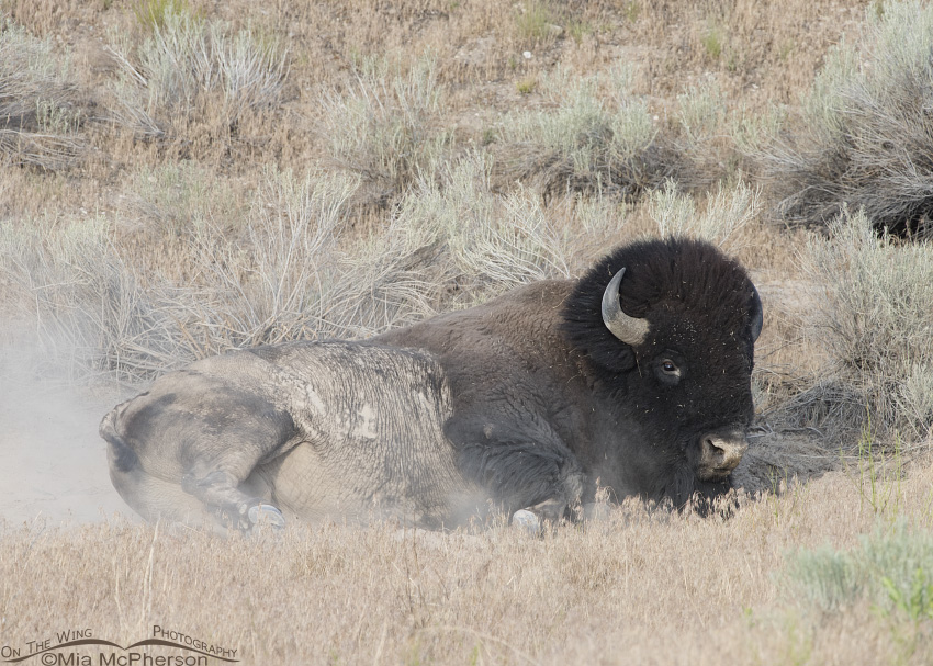 Bison covered in dust