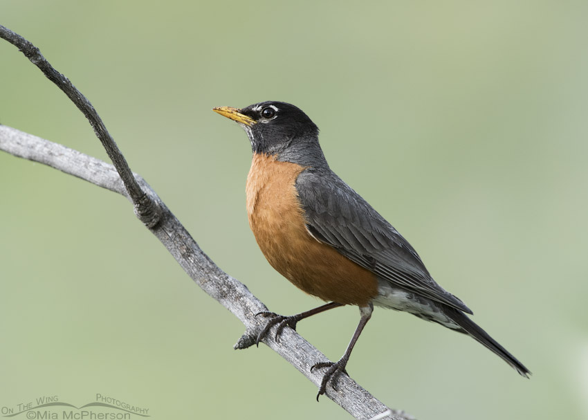 Targhee National Forest American Robin