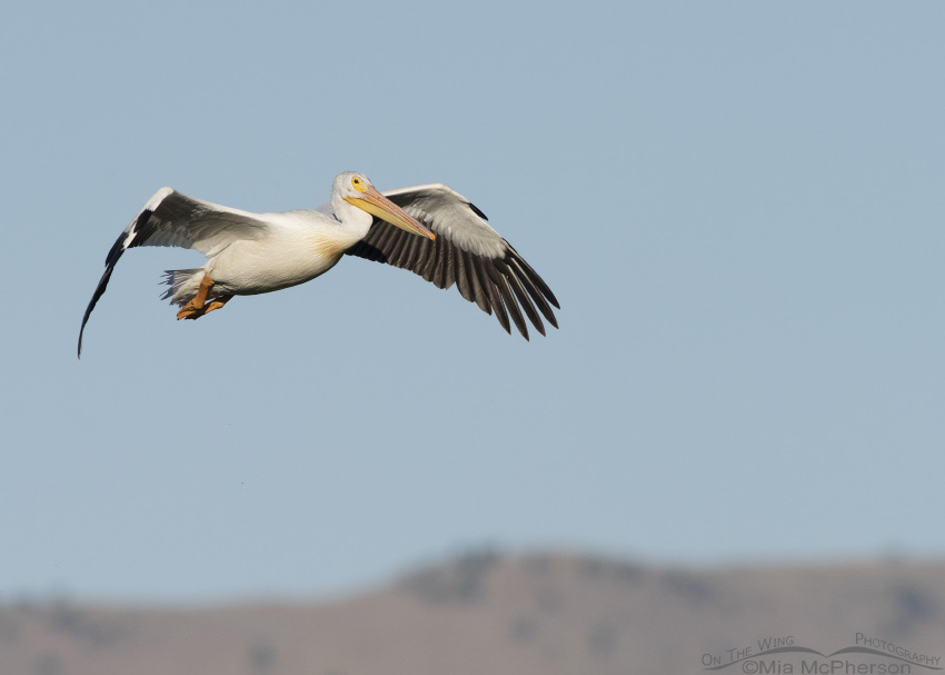 American White Pelican flight over Bear River