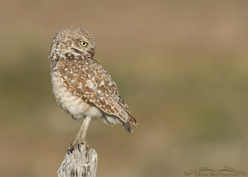 Adult Burrowing Owl looking at the ground