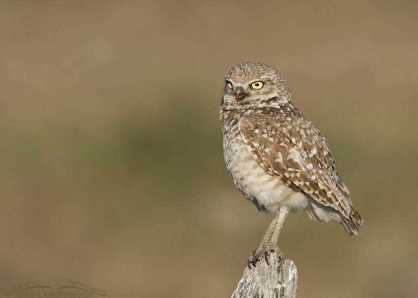 Adult Burrowing Owl with bloody bill
