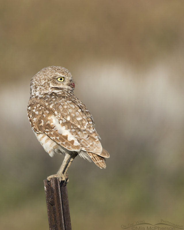 Adult Burrowing Owl near a road