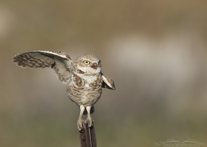 Adult Burrowing Owl pre-lift off