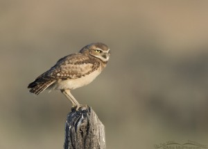 Juvenile Burrowing Owl facing the wind