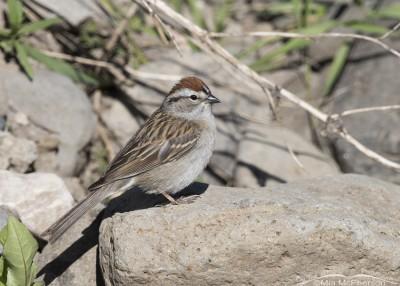 Centennial Valley Chipping Sparrow