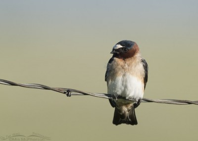 Cliff Swallow resting near the Red Rock River