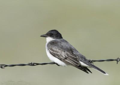 Centennial Valley Eastern Kingbird adult