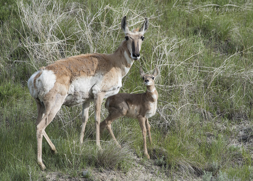 Pronghorn doe with young fawn