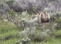 Three Red Fox Kits