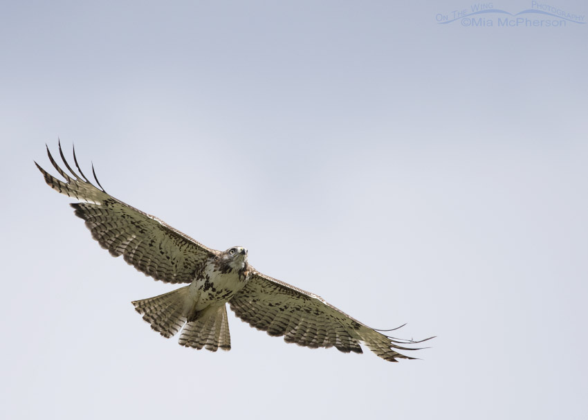 Targhee National Forest Red-tailed Hawk juvenile