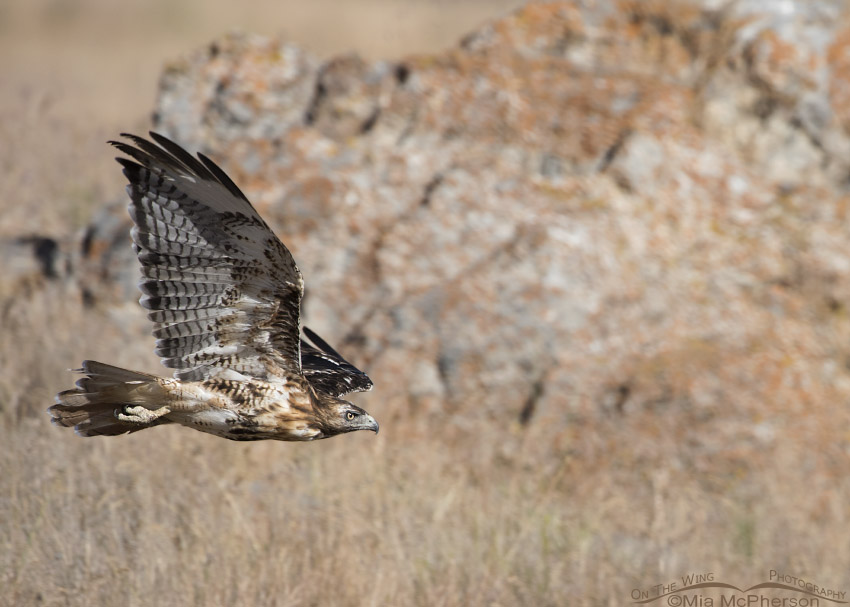 Molting Red-tailed Hawk flight