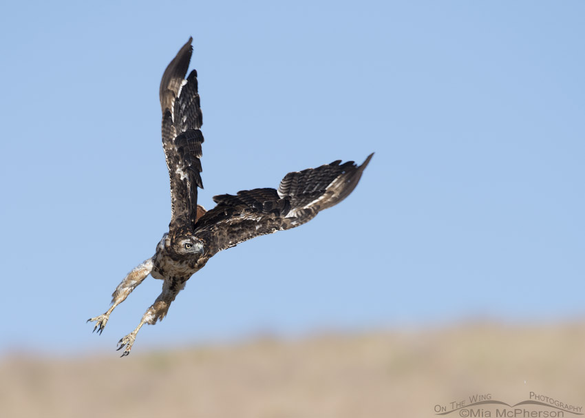 Molting Red-tailed Hawk lift off