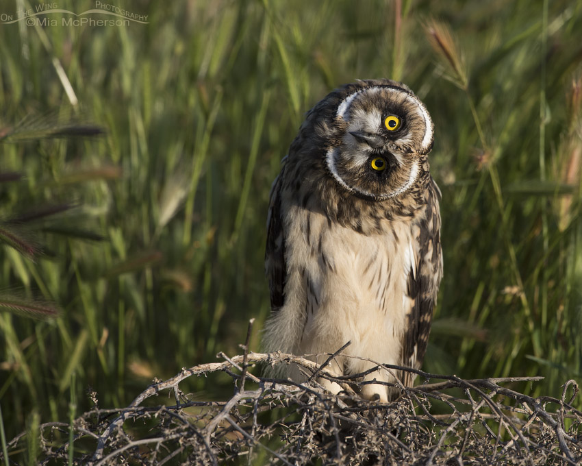 Parallaxing Short-eared Owl fledgling