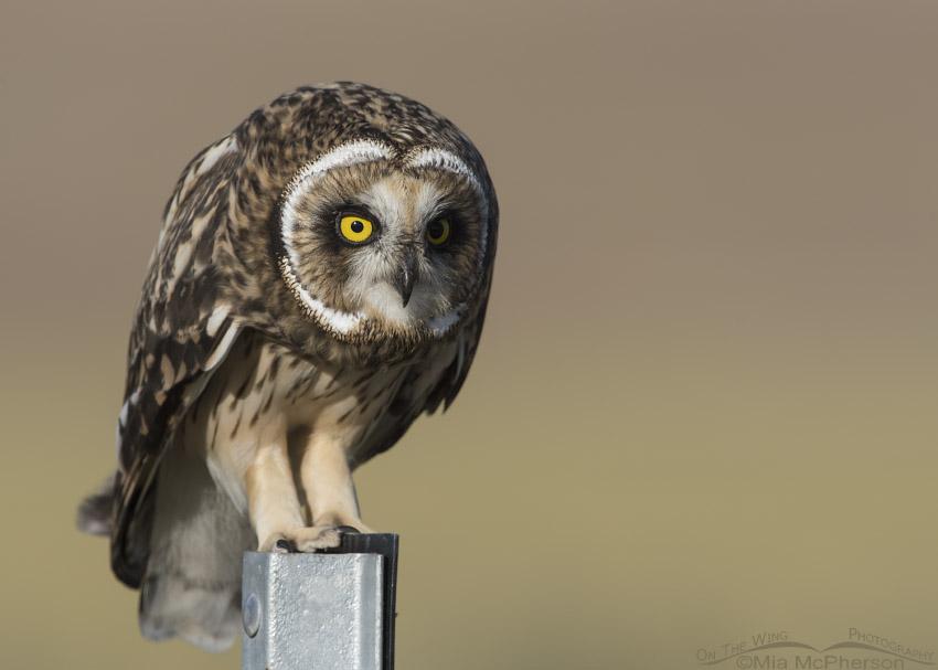 Fledgling Short-eared Owl Close Up