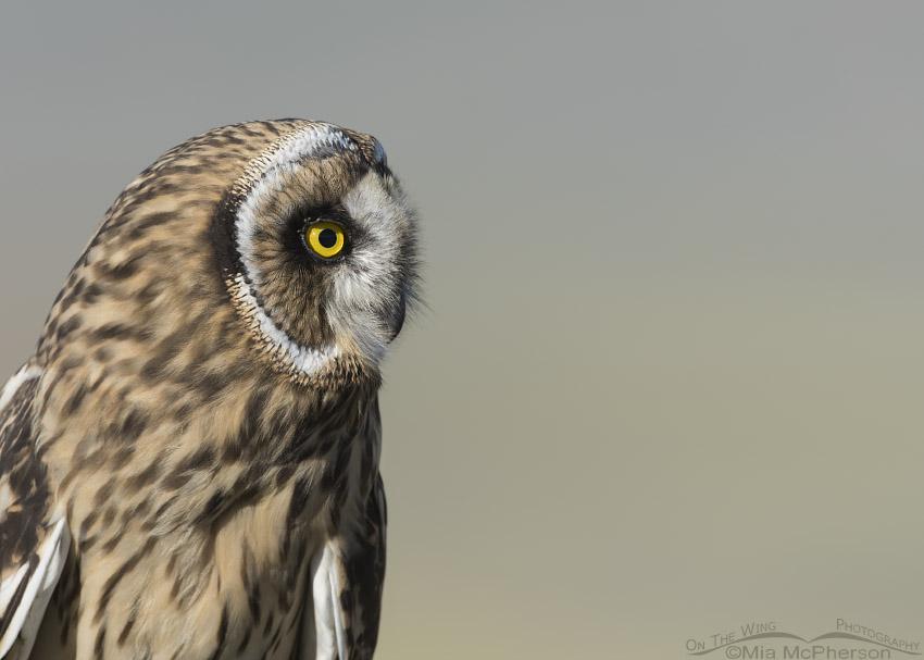 Short-eared Owl fledgling portrait