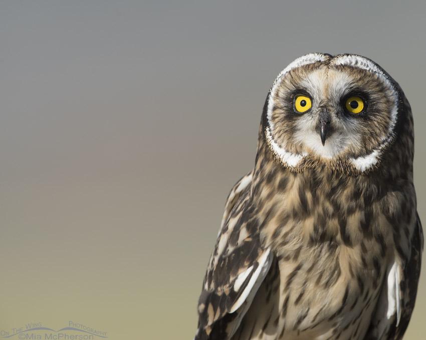 Fledgling Short-eared Owl portrait