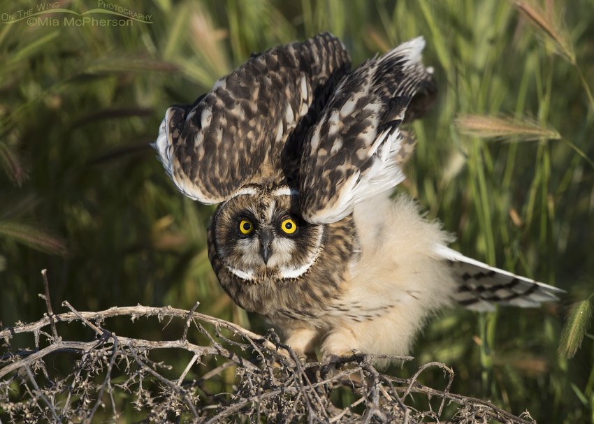 Fledgling Short-eared Owl stretching