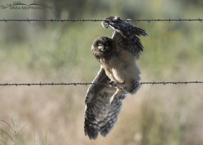 Short-eared Owl fledgling caught on barbed wire